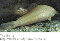 Tropical fish for staring your freshwater aquarium for Bottom feeder fish