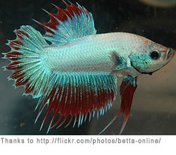 Betta Tropical Fish | Betta Fish Care