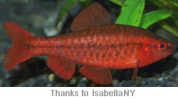 Tropical fish species for Cherry barb fish