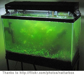 How to fix green aquarium water for What causes algae in fish tanks
