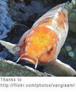Koi for Koi fish to pond ratio