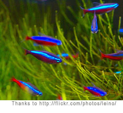 Aquarium Help Answers to aquarium questions #1: neon tetra1